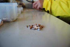 貝殻の分別作業