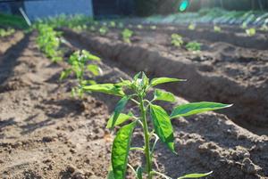 苗植え(日が差して)