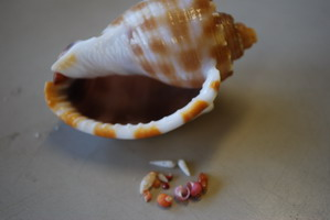 鳴き砂の貝殻