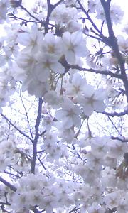 与謝峠の桜